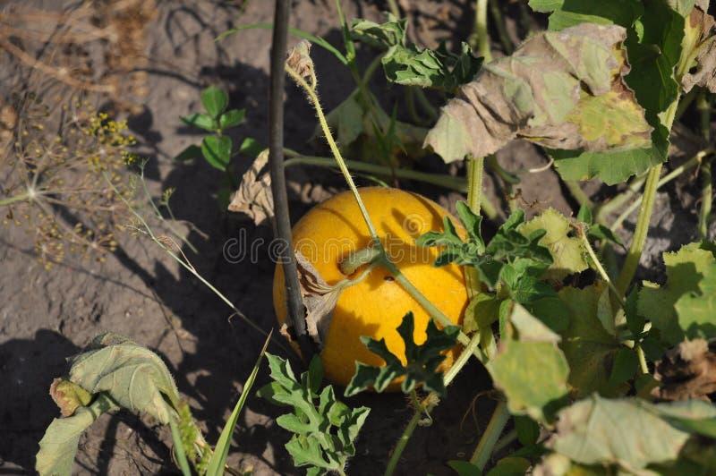 美好的夏天生长黄色颜色西瓜 库存图片
