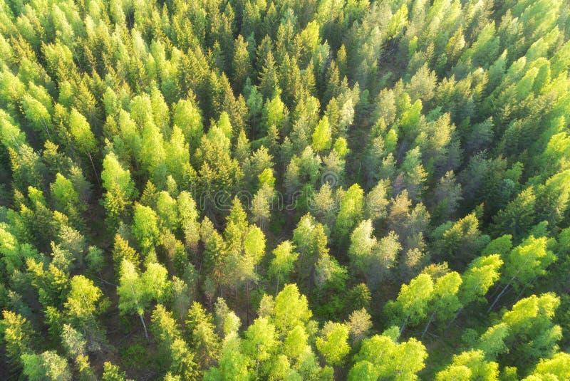 美好的夏天绿色冷杉木空中顶视图在森林里 免版税库存照片