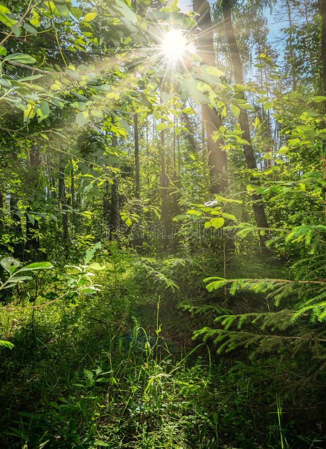 美好的夏天风景,密集的森林,太阳打破创造在的丛林美好的反射 图库摄影