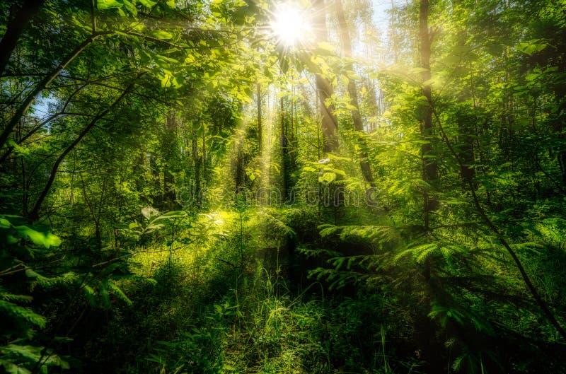 美好的夏天风景,密集的森林,太阳打破创造在的丛林美好的反射 免版税库存图片
