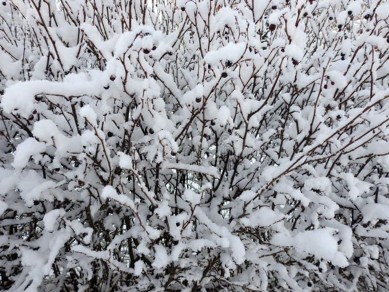 美好的多雪的灌木分支,立陶宛 免版税库存图片