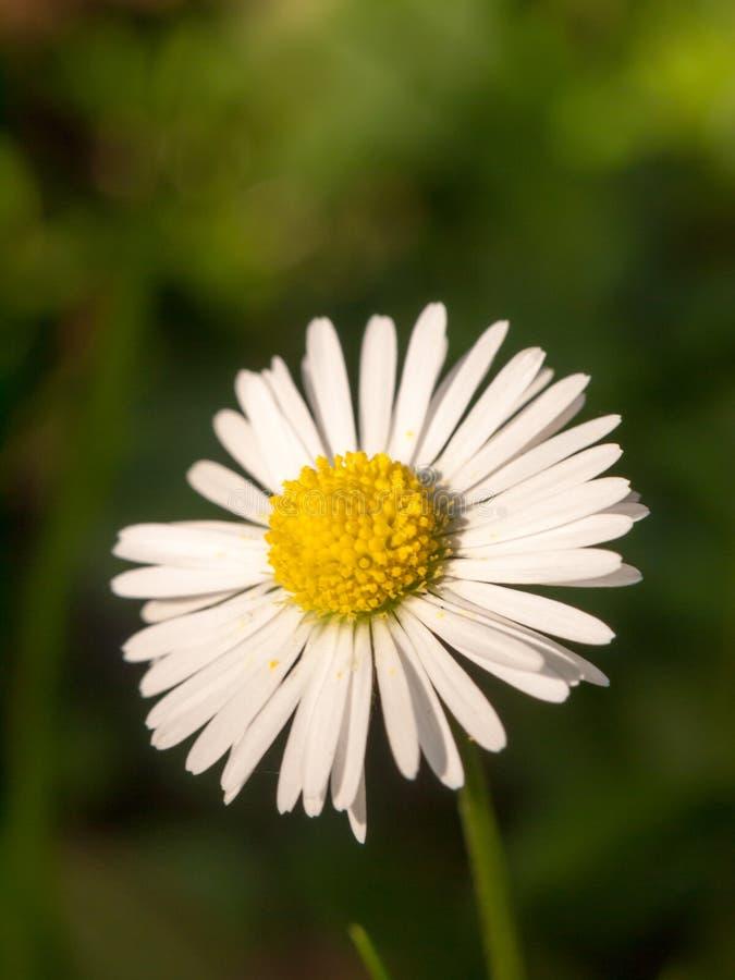 美好的完善的白色瓣黄色中心雏菊关闭 免版税库存照片