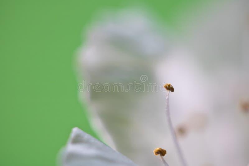 美好的宏观作为抽象背景的春天白色樱桃树花雌蕊与拷贝空间 库存照片