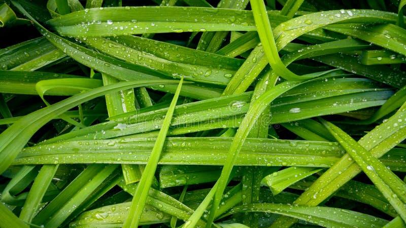 美好的宏观图象的湿草覆盖在露水在早晨 在水滴盖的长的叶子 免版税库存照片