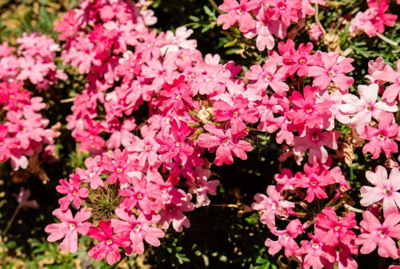美好的小组桃红色花马鞭草属植物Tapien三文鱼 免版税库存图片
