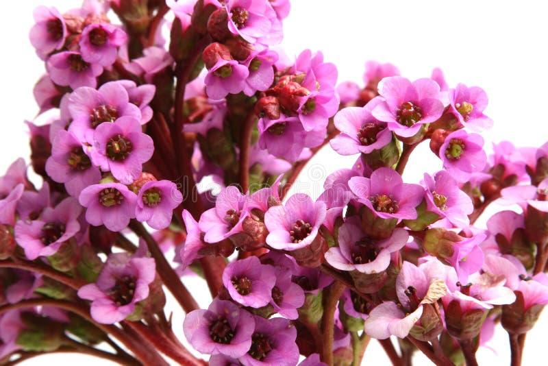 美好的岩白菜属crassifolia花紫色 免版税库存照片