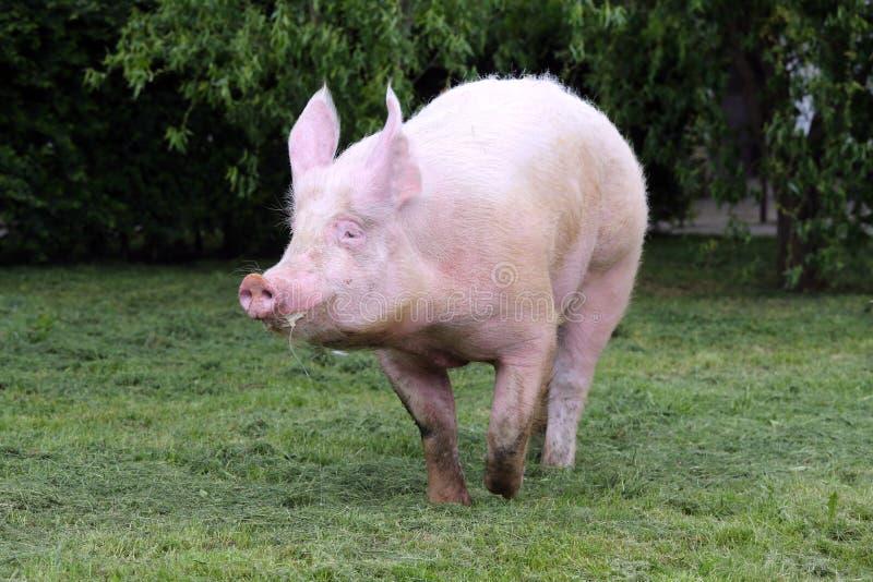 美好的巨型母猪奔跑在牧场地 库存照片. 图片 包括有图片