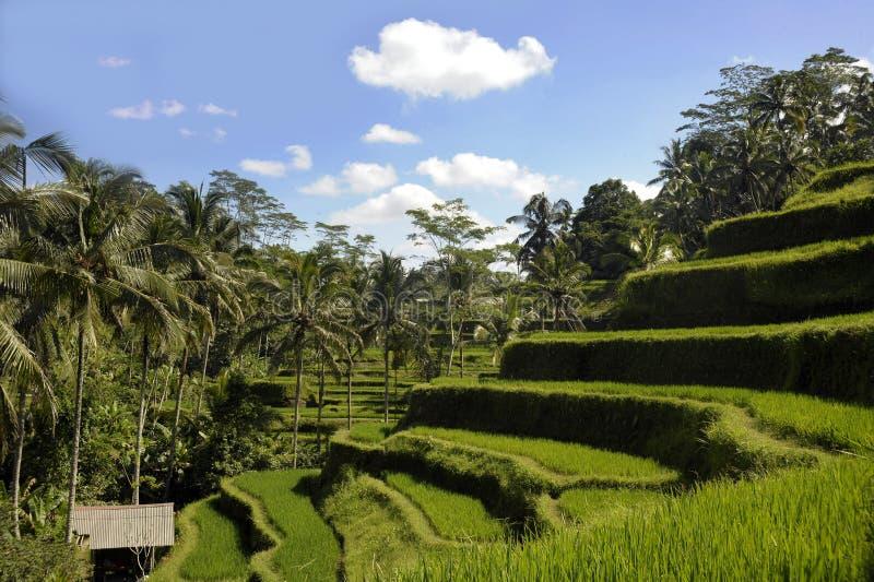 美好的巴厘岛热带风景惊人的看法与棕榈树密林的和米调遣大阳台在日出蓝天下我 免版税库存照片