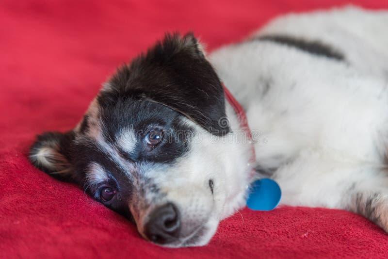 美好的年轻黑白狗身分 免版税库存照片