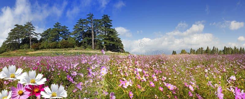 美好的广角花背景 与桃红色菊花花的全景花卉墙纸关闭  库存图片