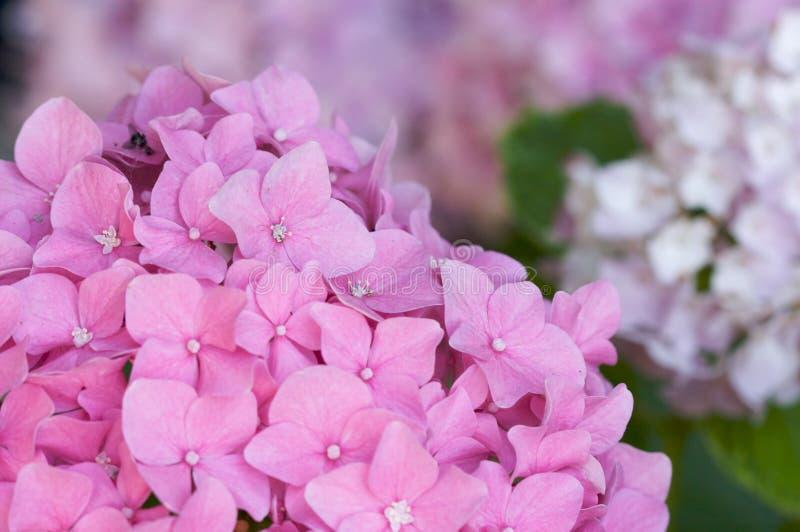 美好的开花八仙花属宏指令 库存图片