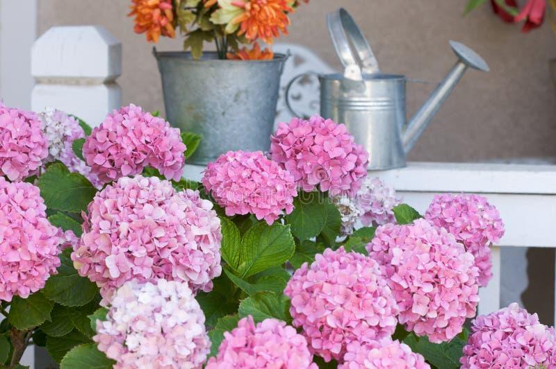 美好的开花八仙花属粉红色 免版税库存照片