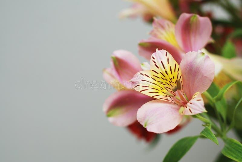 美好的开花的春天开花与Alstromeria的花束隔绝了灰色背景拷贝空间 库存照片