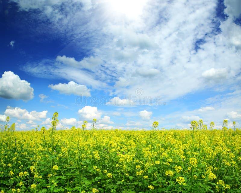 美好的开花的油菜籽领域在蓝天下 免版税库存图片
