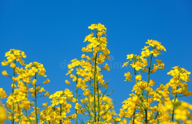 美好的开花的油菜籽领域在蓝色,无云的天空下 免版税库存图片