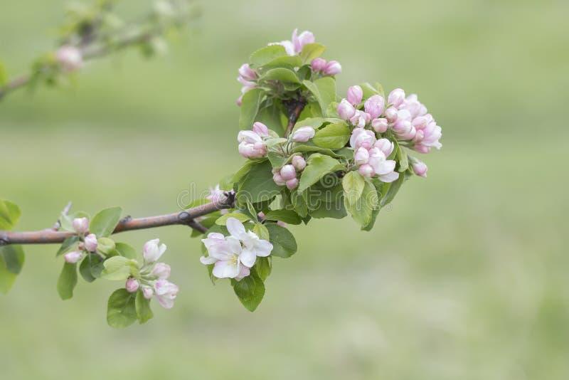 美好的开花的苹果树分支 免版税库存图片