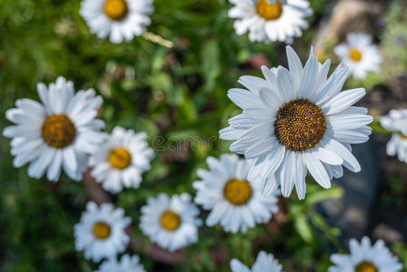 美好的开花的Leucanthemum vulgare 在绽放特写镜头的花 免版税库存照片