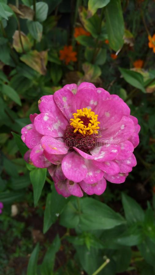 美好的开花花粉红色 免版税库存图片