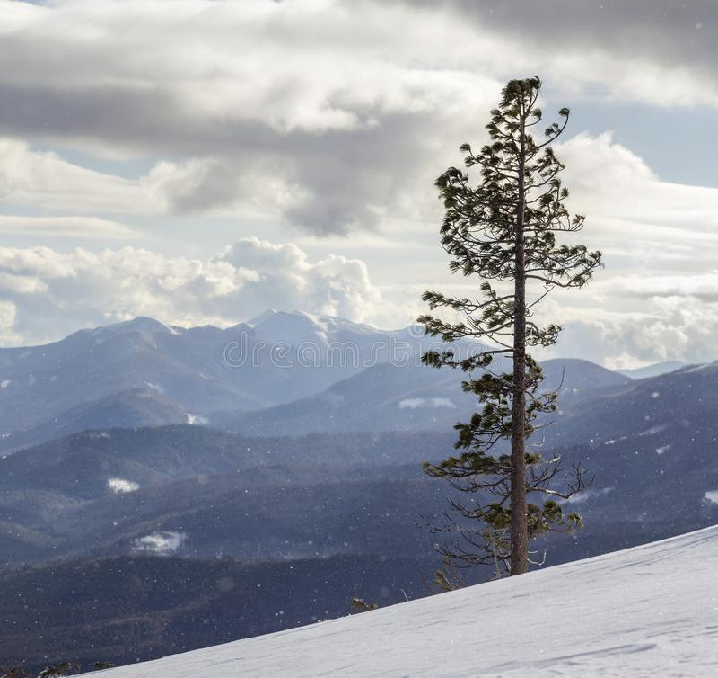 美好的惊人的宽看法冬天风景 单独高松树在深雪的山陡坡在冷的冷淡的好日子 免版税库存照片