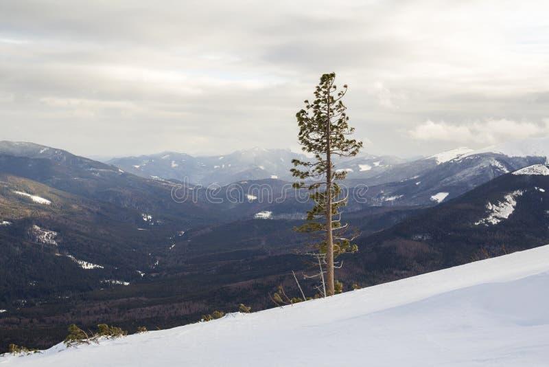美好的惊人的宽看法冬天风景 单独高松树在深雪的山陡坡在冷的冷淡的好日子 库存照片
