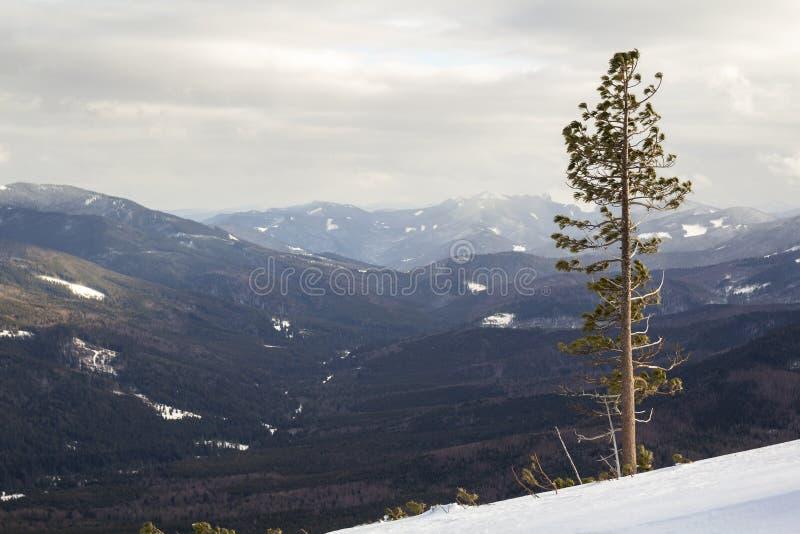 美好的惊人的宽看法冬天风景 高杉树alo 免版税库存图片