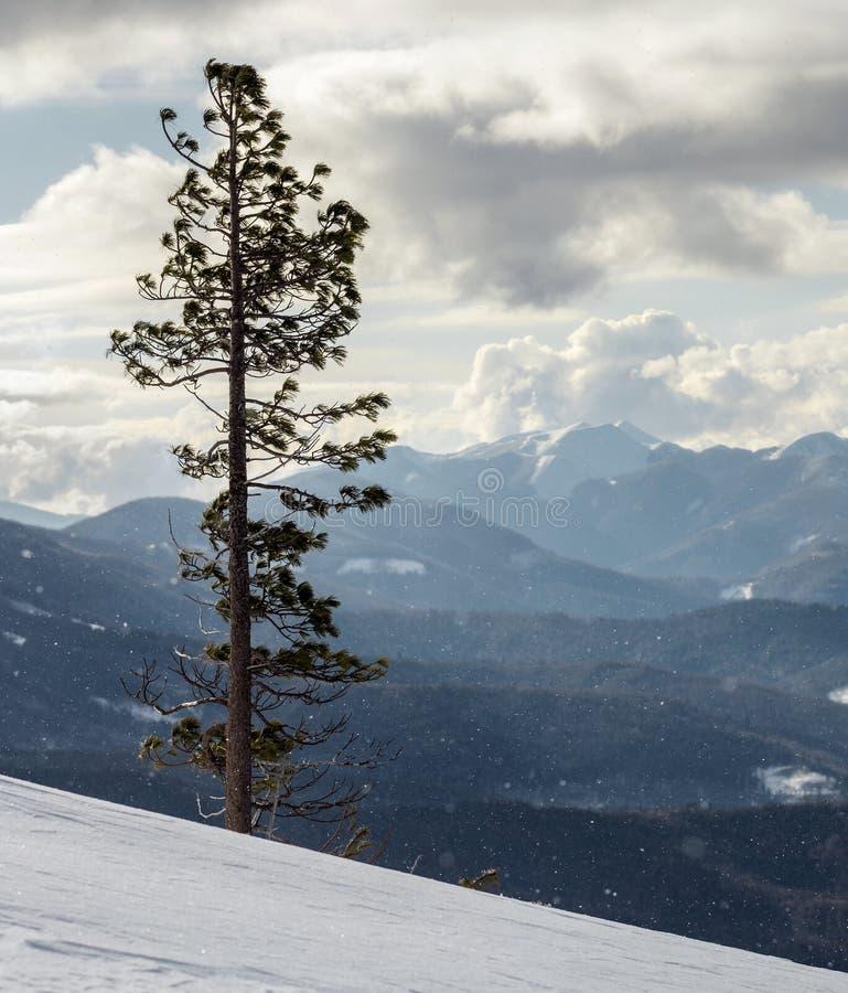 美好的惊人的宽看法冬天风景 高杉树alo 免版税库存照片