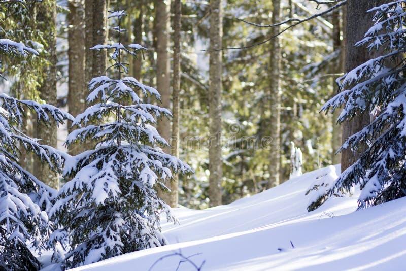 美好的惊人的童话冬天山风景 用雪和霜盖的小绿色冷杉木在警察的冷的晴天 免版税库存照片