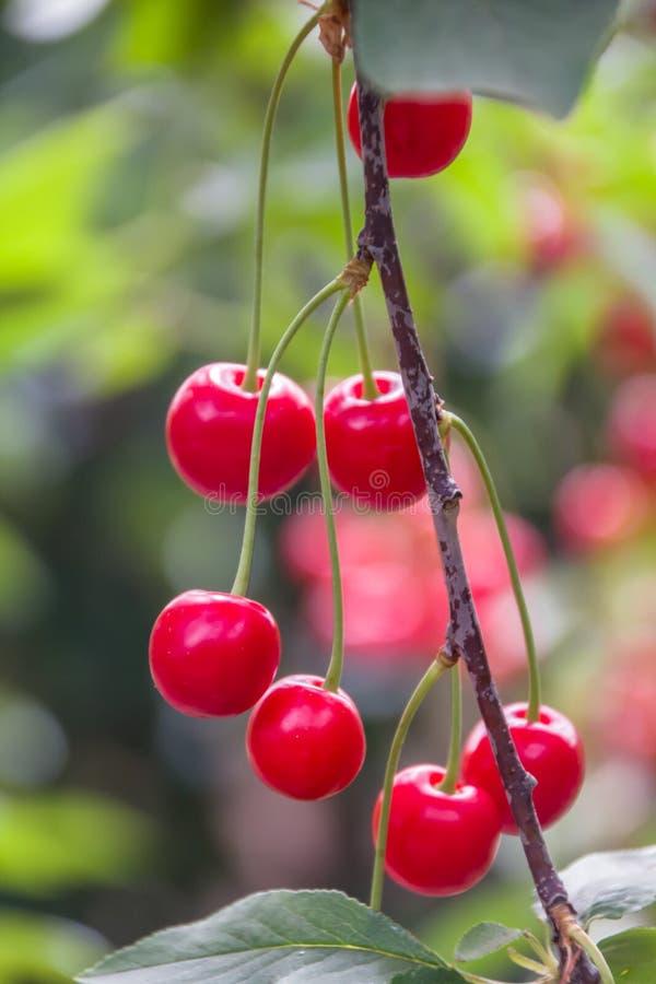 美好的成熟和新小组红色欧洲酸樱桃 库存图片