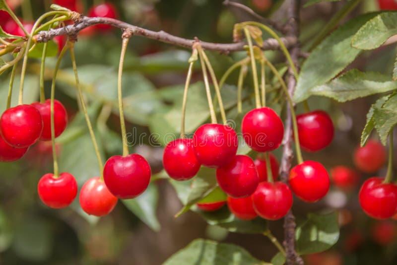 美好的成熟和新小组红色欧洲酸樱桃 免版税图库摄影