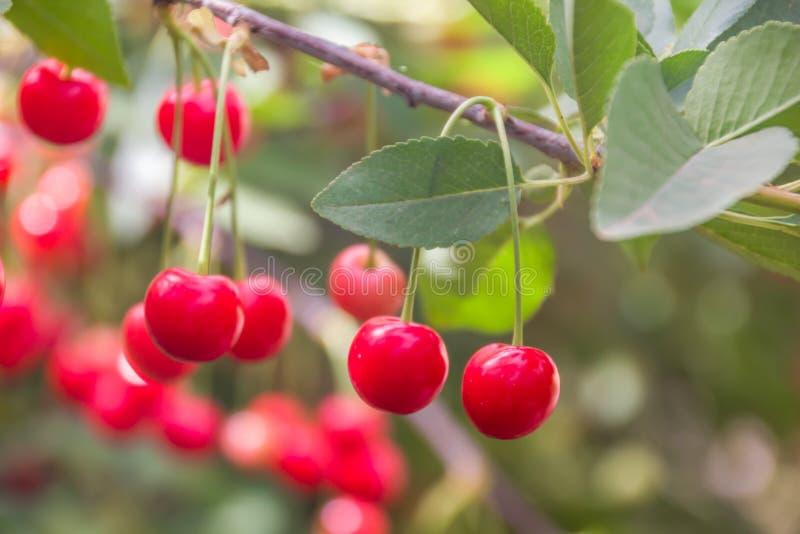 美好的成熟和新小组红色欧洲酸樱桃 图库摄影