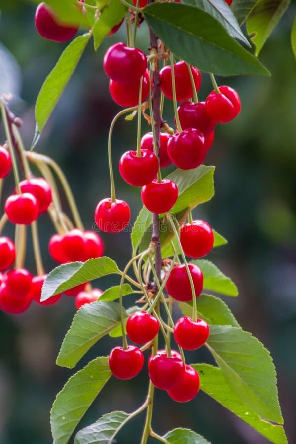 美好的成熟和新小组红色欧洲酸樱桃 免版税库存照片