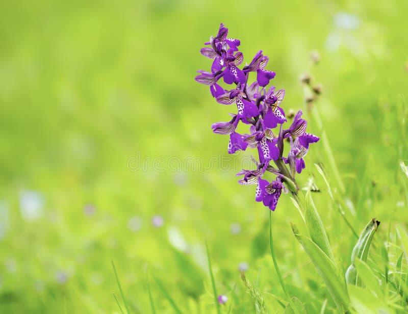 美好的我的春天野生兰花 免版税库存图片