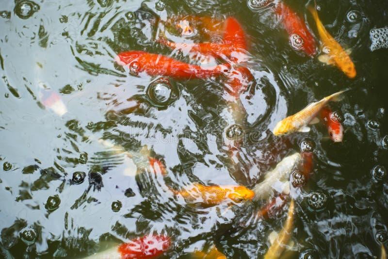 美好的日本鲤鱼游泳在池塘 库存图片