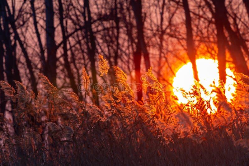 美好的日落光通过森林和芦苇 库存照片
