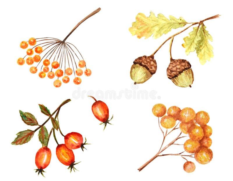 美好的明亮的秋天生叶季节性,自然橡子,秋季植物隔绝在白色背景 库存例证