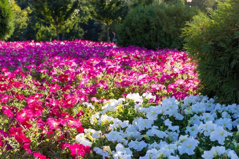 美好的明亮的花床颜色Impatiens 在边缘和里面附近的绿色树是红色的,并且白花是分开的 免版税库存照片