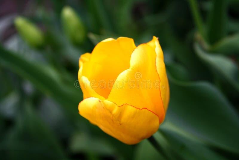 美好的明亮的黄色郁金香绽放在所有它的荣耀的庭院里 库存照片