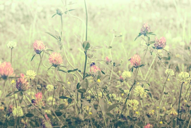 美好的春天狂放的草甸三叶草花、桃红色和黄色颜色在太阳光与蜂,宏指令 软的焦点自然背景 库存照片