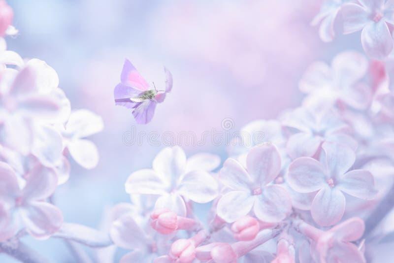 美好的春天紫色淡紫色花开花与蝴蝶的分支背景在太阳光,宏观 r 免版税库存照片