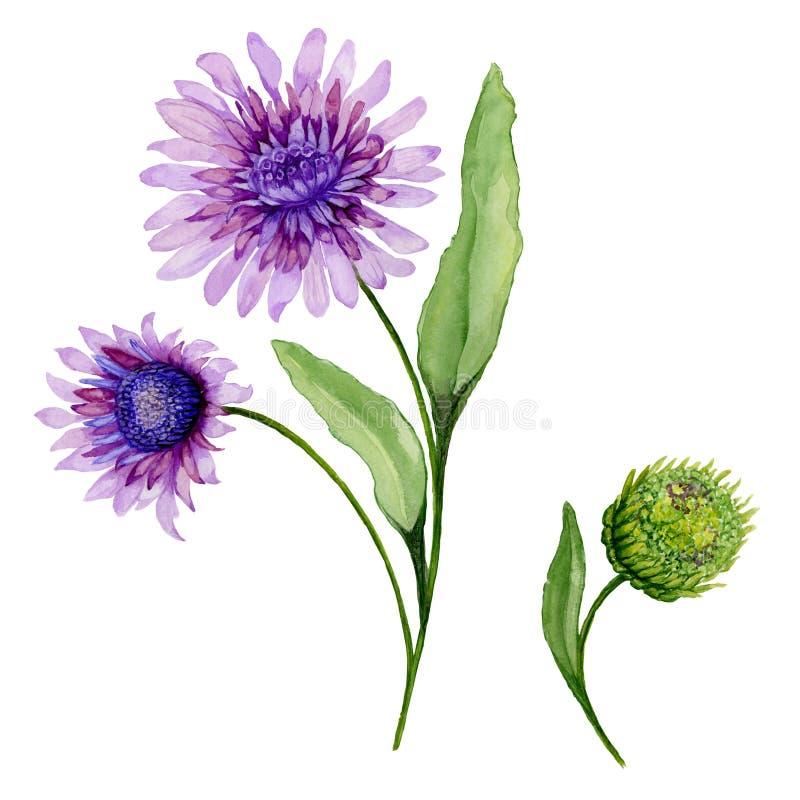 美好的春天花卉例证 在一个词根的紫色雏菊花与在白色背景和闭合的芽隔绝的叶子 向量例证