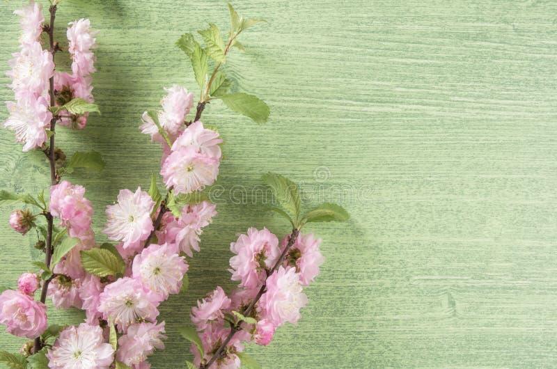 美好的春天花卉背景 杏仁在分支和叶子的桃红色花在绿色木桌背景 r 免版税库存图片