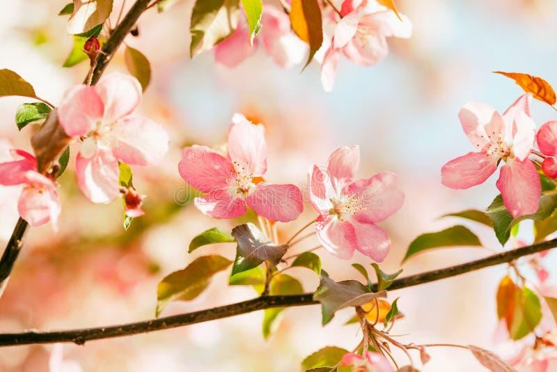 美好的春天花卉自然风景 开花的果树在庭院,在光芒的桃红色瓣花里分支  库存照片