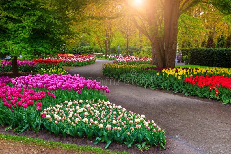 美好的春天风景、美妙的库肯霍夫庭院有开花的新鲜的郁金香的和五颜六色的春天花 令人惊讶的公园与 库存照片