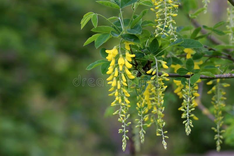 美好的春天黄色金合欢树,反对被弄脏的背景的分支开花 免版税库存图片