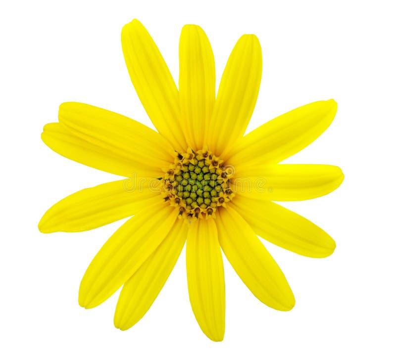 美好的春黄菊黄色 库存图片