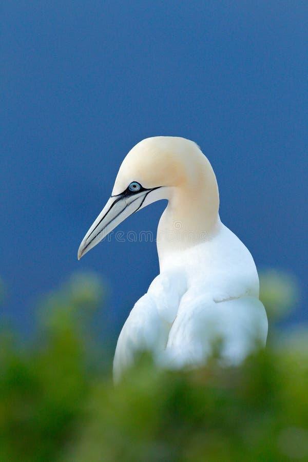 美好的晚上光 北gannet,海鸟细节头像坐巢,与在的深蓝海水 库存照片