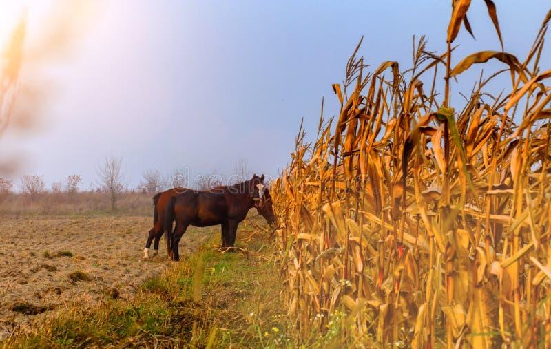 美好的有薄雾的吃草秋天风景和的马 库存照片