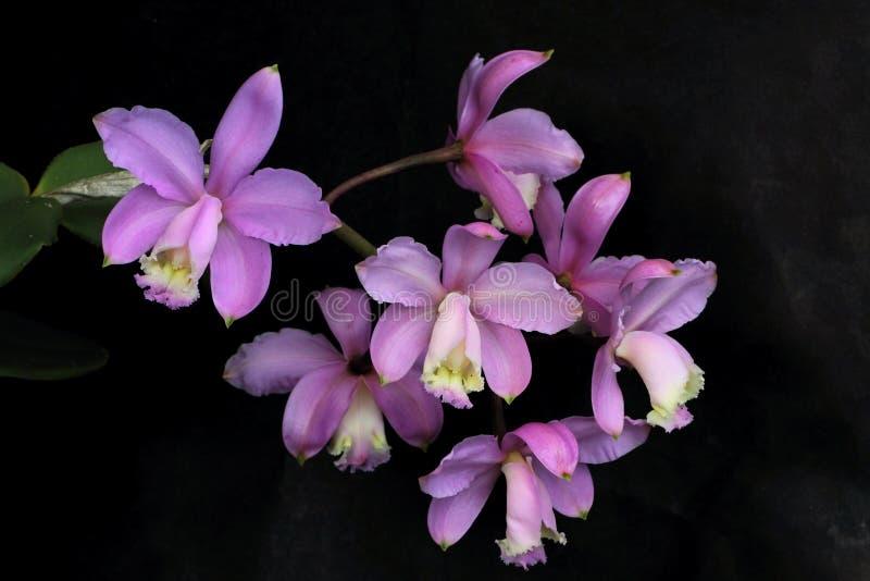 美好的束淡紫色兰花花 免版税库存图片