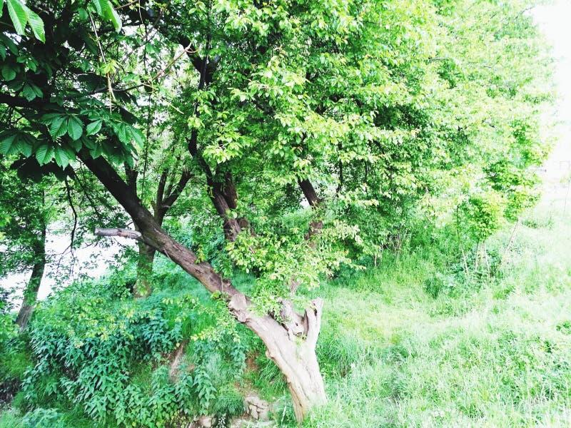 美好的树自然 免版税库存图片