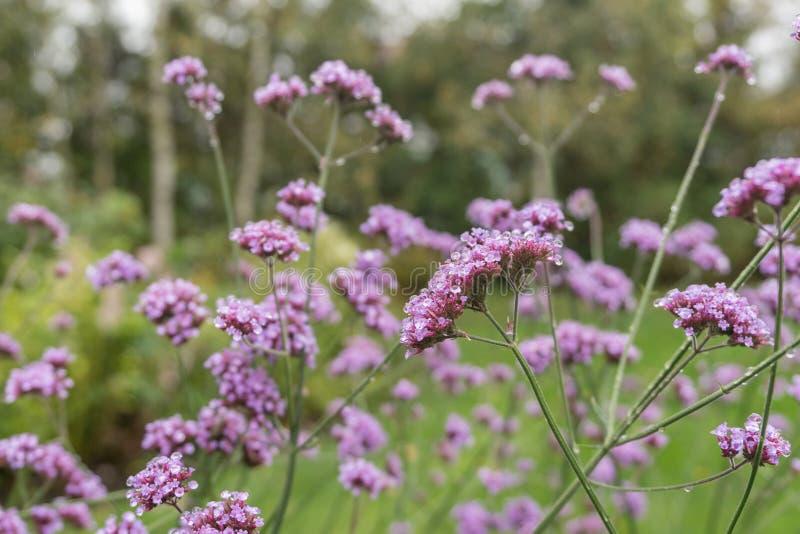 美好的桃红色和紫色花在庭院里 免版税图库摄影